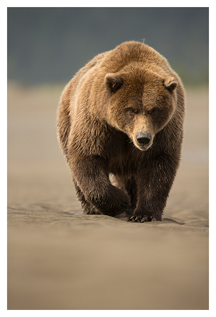 Grizzly bear walking - photo#11