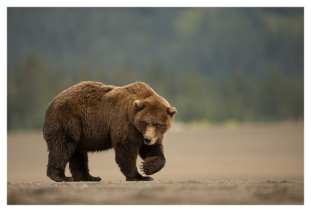 Grizzly bear walking - photo#5