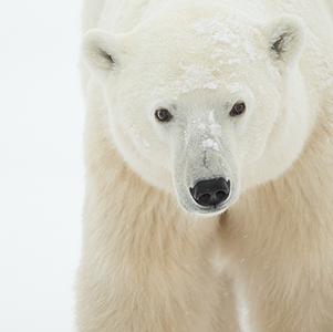 Polar-Bear-female-thumb