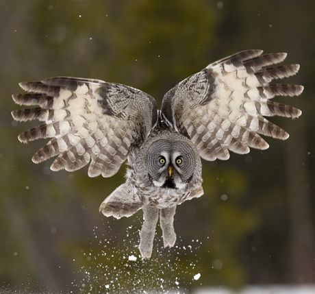 87 Great Grey Owl in the snow 460x429