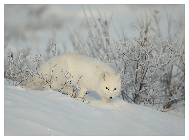 Arctic-Fox-portrait-1