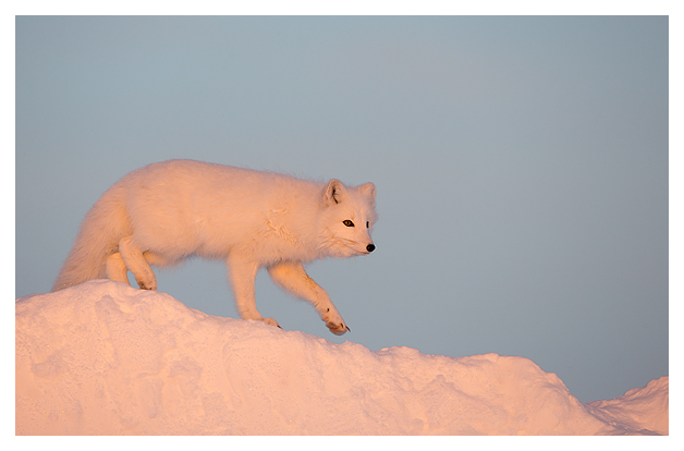 Arctic-Fox-portrait-2