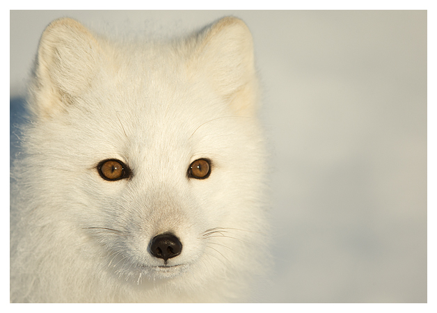 Arctic-Fox-portrait-4