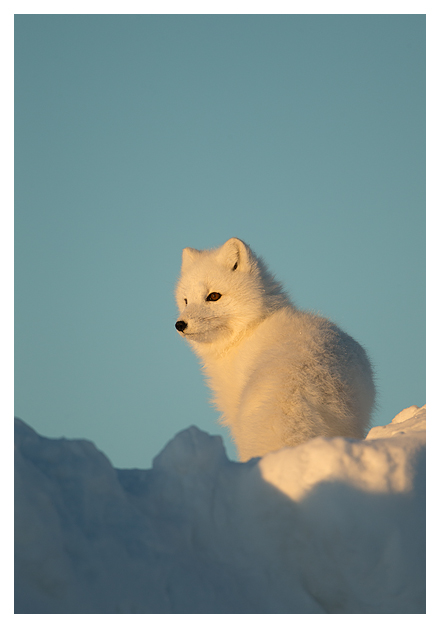 Arctic-Fox-portrait-7