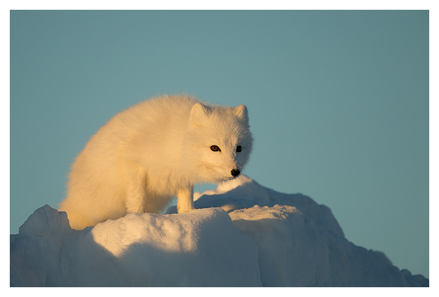 Arctic-Fox-portrait-8
