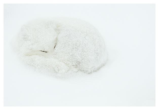 Arctic-Fox-resting