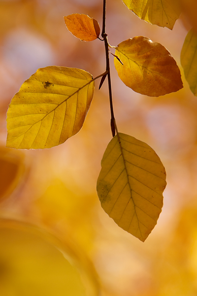 Autumnal-Beech-leaves-1
