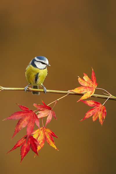 Blue-Tit-on-autumnal-Acer-2