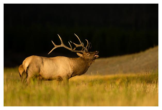 Bull-Elk-calling-1