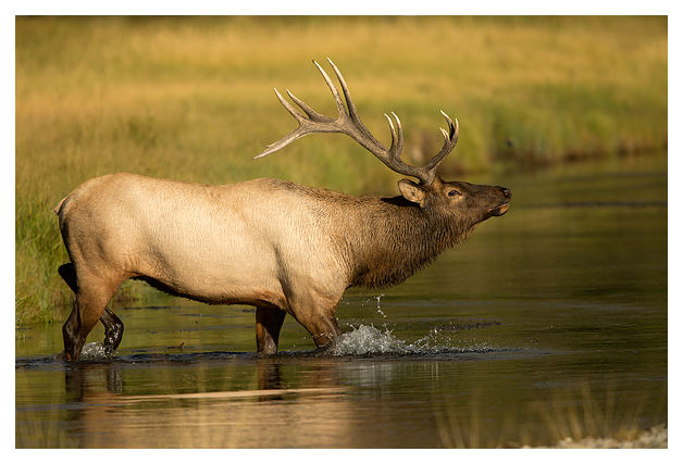 Bull-Elk-crossing-a-river