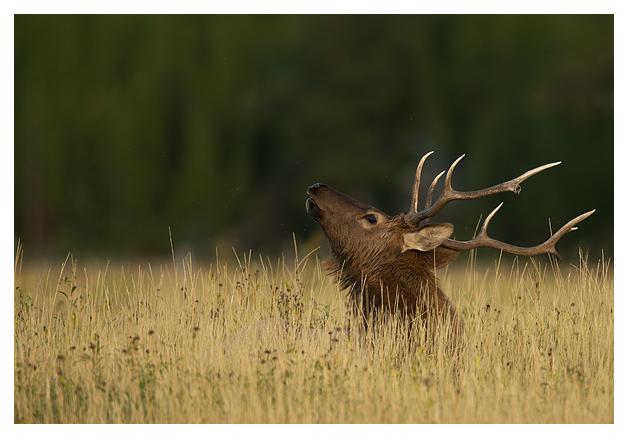 Bull-Elk-in-a-meadow