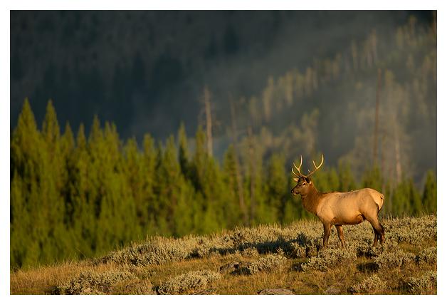 Bull-Elk-in-early-morning-light