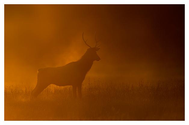 Bull-Elk-in-the-mist-2