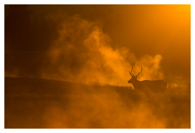 Bull-Elk-in-the-mist-3
