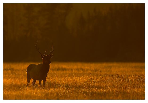 Bull-Elk-in-the-mist-4