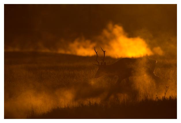 Bull-Elk-in-the-mist-5