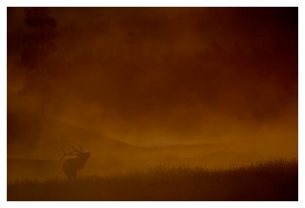 Bull-Elk-in-the-mist