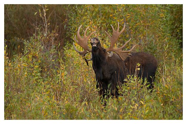 Bull-Moose-1