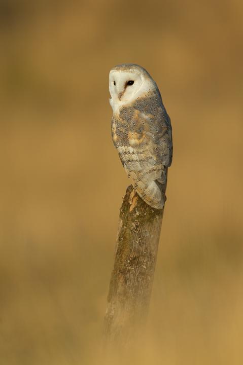 EKBarn-owl720
