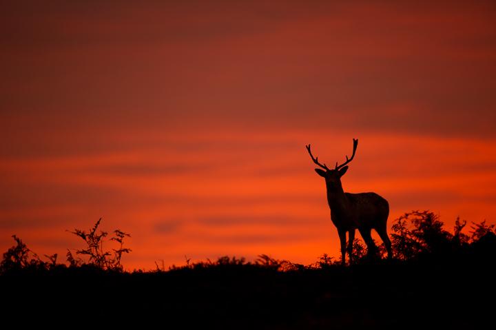 EKFallow-deer-stag720