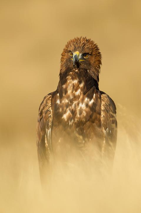 EKGolden-eagle-female720