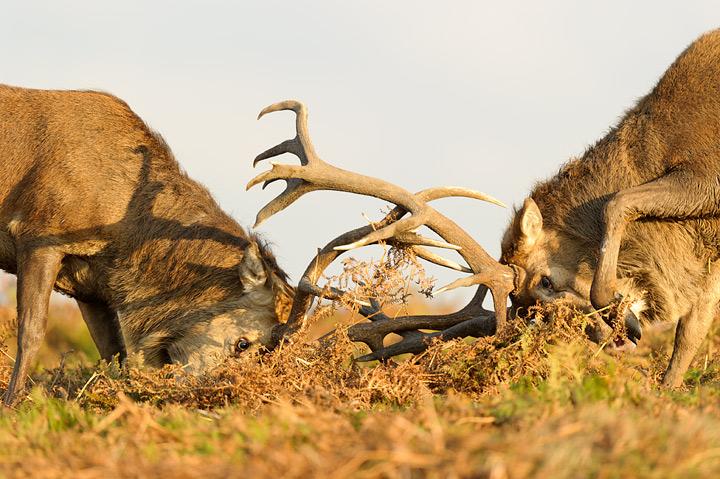 EKRed-deer-fighting720