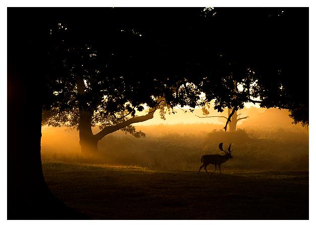 Fallow-Deer-Buck-at-dawn-1