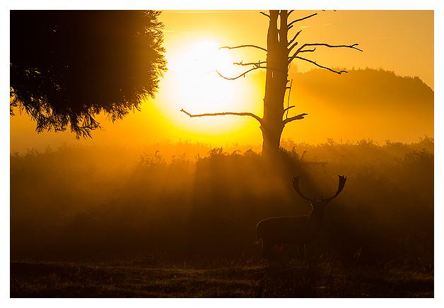 Fallow-Deer-Buck-at-dawn