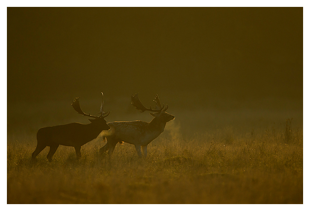 Fallow-Deer-bucks-parallel-walking