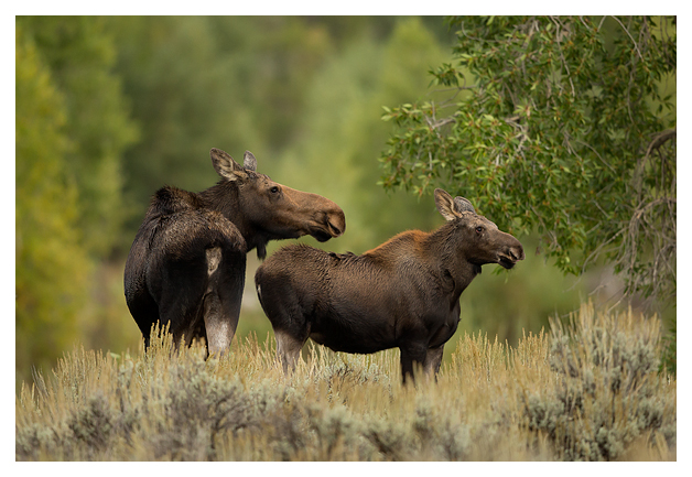 Female-Moose-and-calf-1