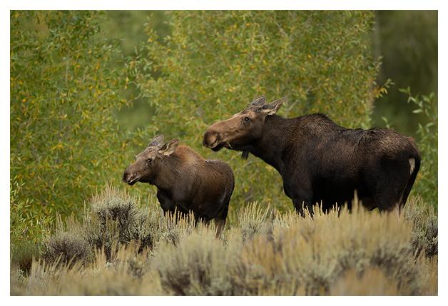 Female-Moose-and-calf
