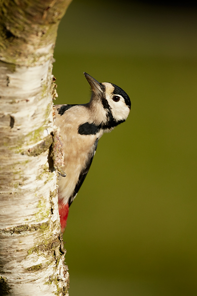 Great-Sppotted-Woodpecker