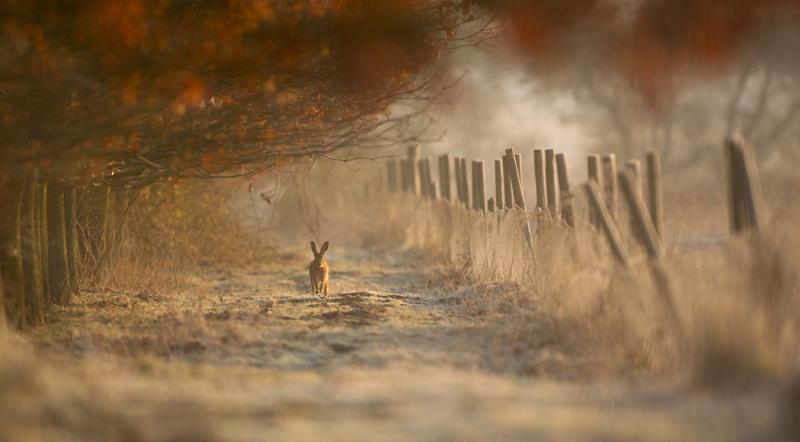 Hare-in-hoarfrost-Ian-Haskell
