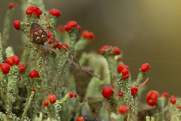 Orb spider on fruiting lichens