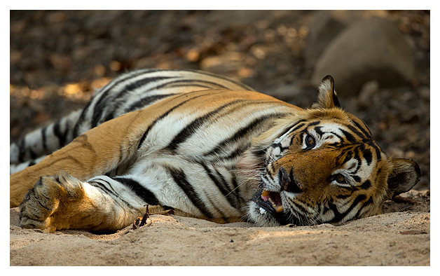 Bengal Tiger Near The Water Stock Photo - Image of tired ... |Bengal Tiger Tired