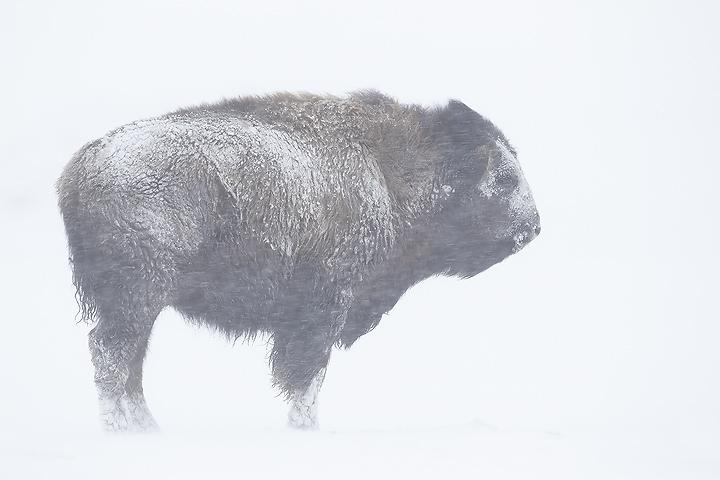 NI-Bison-head-on-in-snowstorm