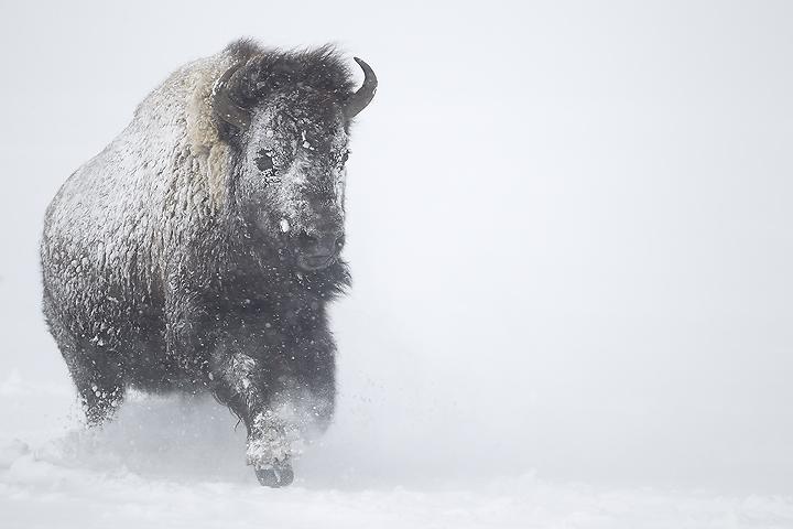 NI-Bison-running-in-blizzard