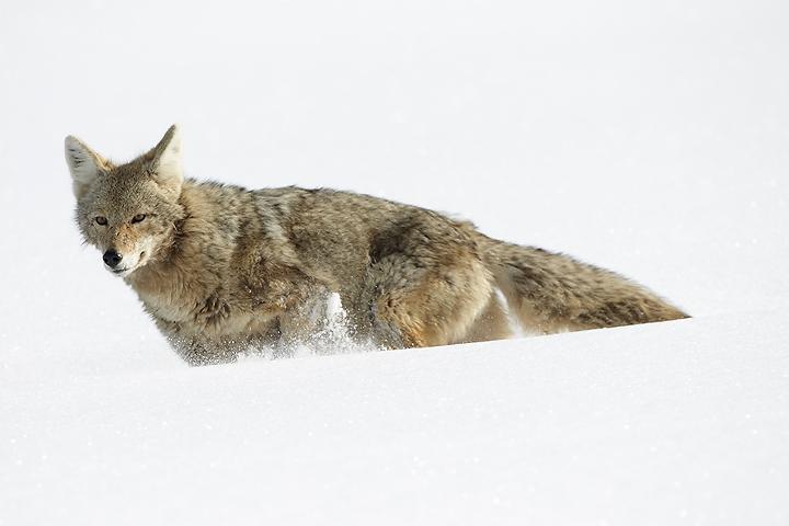 NI-Coyote-running-through-snow
