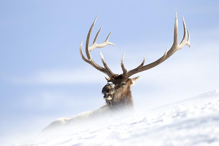 NI-Elk-in-spindrift-chewing-cud