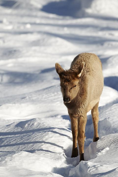 NI-Elk-juvenile-walking-through-snow