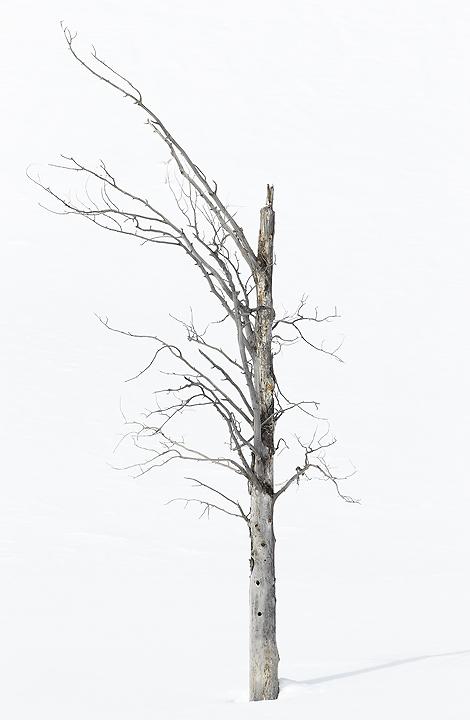 NI-Tree-in-Lamar-Valley-high-contrast