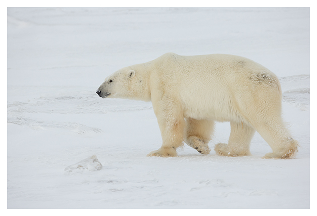 Polar-Bear-Male-1