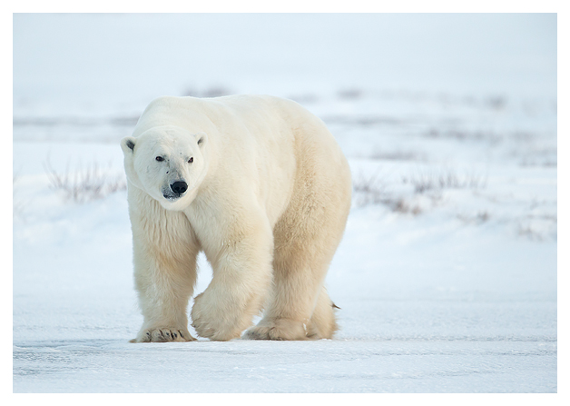 Polar-Bear-Male-2