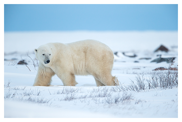 Polar-Bear-Male-3