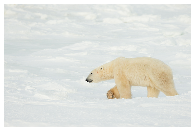 Polar-Bear-Male-5