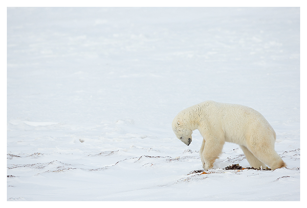 Polar-Bear-Male-6