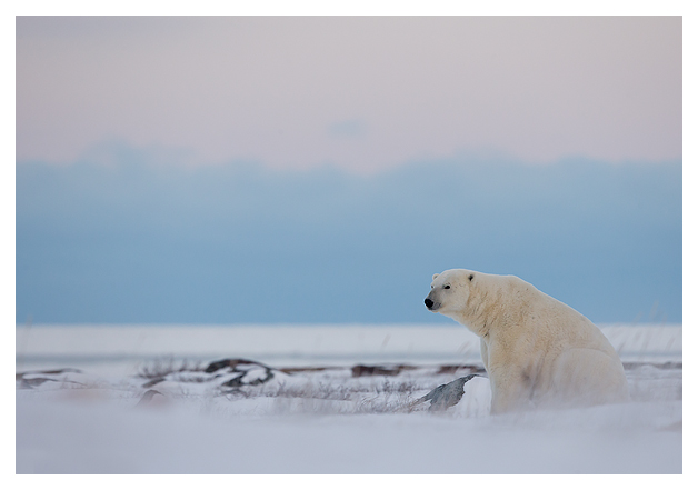 Polar-Bear-Male-9