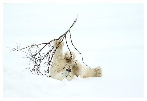 Polar-Bear-cub-1