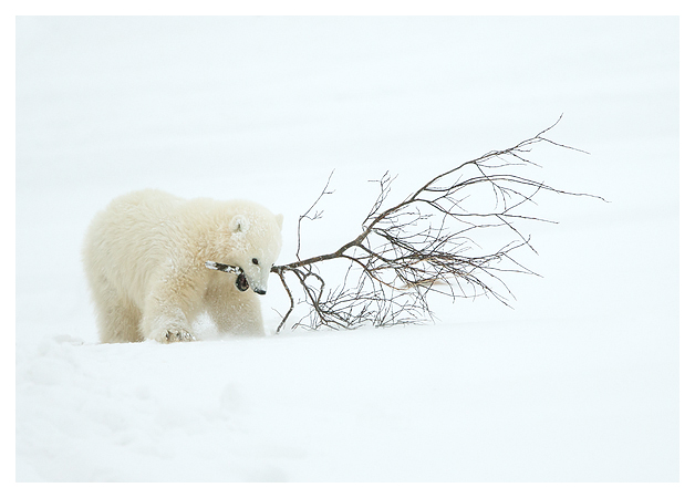 Polar-Bear-cub-2