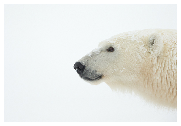 Polar-Bear-female-1